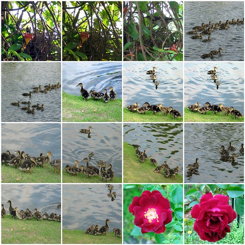 ducklings, mockingbirds and roses