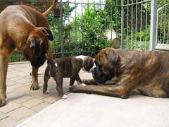 maggio 396 (deboh76) Tags: dog pet cane boxerdog crew bunch boxer gruppo mucchio canidi patafruttoli boxercrew