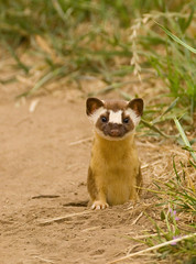 LONG-TAILED WEASEL (sea25bill) Tags: california morning sky usa sun white nature animals spring wildlife omnivore belette fouine longtailedweasel mustelafrenata