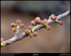 Balsam of Mecca, Commiphora gileadensis, Fruits in Shihait, Taqah, Dhofar (Shanfari.net) Tags: summer plants plant nature lumix raw natural panasonic oman fz zufar rw2 salalah  sultanate dhofar  khareef     dufar       dhufar governorate   dofar fz38 fz35 dmcfz35  qaidh