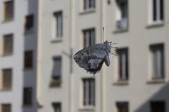 Papillon sur une vitre