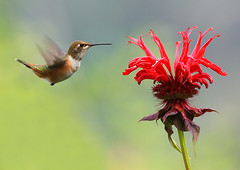 Rufous Hummingbird and Bee Balm (janruss) Tags: bravo hummingbird searchthebest soe breathtaking birdwatcher rufoushummingbird selasphorusrufus topshot naturesfinest workofart firstquality opl magicdonkey cotcpersonalfavorite flickrsbest specnature bej specanimal golddragon mywinners abigfave specialtouch 300faves worldbest goldmedalwinner platinumphoto anawesomeshot goldenstars supremeanimalphoto colorphotoaward impressedbeauty aplusphoto ultimateshot flickrplatinum superbmasterpiece avianexcellence megashot superfaveme elegantgroup estremit empyreananimals onlythebestare colourartaward vividmasters artlegacy natureoutpost betterthangood bestofanimals superperfectphotographer goldwildlife blisanctuary goldstaraward world100f exquisiteimage platinumsuperstar bestofflickrsbest magicdonkeysbest awesomeblossoms photoexel 100commentgroup colorphotoawardbronze colorphotoawardsilver colorphotoawardgold ubej phvalue novavitanewlife mdtbmasterpiece janruss imagicland janinerussell magicunicornverybest trulybetterthangood betterthanbetterthangood