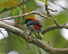 Scarlet-backed Flowerpecker, male