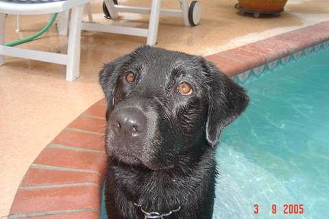 black labrador - Baily