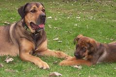 Molly & Izzy, (Born 1/30/06) (muslovedogs) Tags: dogs puppy mastweiler myladyoffspring lilboyoffspring