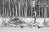 First Snow by Stricker's Pond (Mingfong) Tags: blackandwhite bw white snow monochrome birds flying snowy wildlife story madison albumcover firstsnow stories 雪 黑白 migrating middleton 藝術照 白色 白 strickerspond 桌布 migratingbirds 雪地 寒冷 mingfong 風景攝影 madison365 黑白攝影 musicflyer 風景桌布 mingfongjan giantcanadageese 雪國 雪白 artbrochure 雪日 sketchoflight mingfongphotography 黑白風景攝影 白色桌布 黑白桌布