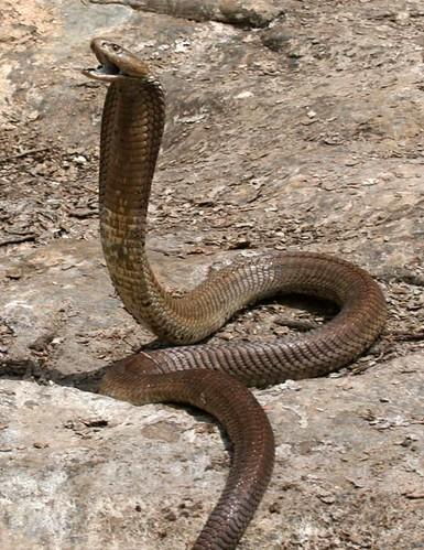 spitting cobra1