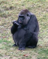 Looking at something out of his nose? (Mandy Verburg) Tags: zoo monkey gorilla ape apenheul aap apeldoorn animalpark dierentuin dierenpark thebiggestgroup mandyarjan
