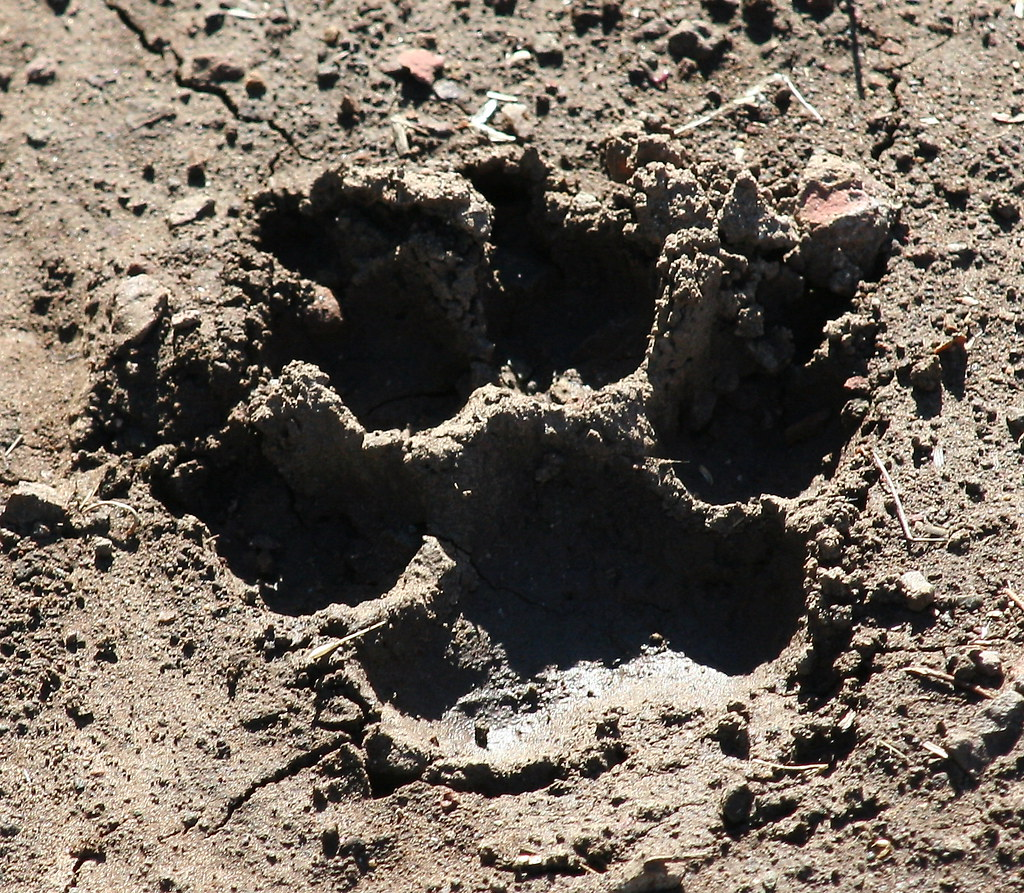 Mammal Tracks - maybe Mountain Lion