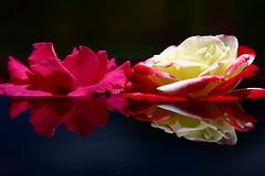 2 Floating Roses (cheezelsmurf) Tags: flower color colour reflection rose canon newcastle australia huntervalleygardens 40d abigfave diamondclassphotographer flickrdiamond