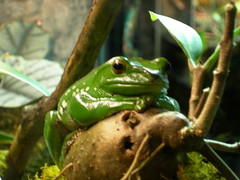 contemplating... (IsabelW.) Tags: think amphibian frog