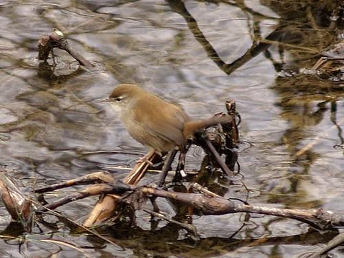 Rossinyol bord - Ruise?r bastardo - Cetti's Warbler (Cettia cetti) 3 by fturmog.