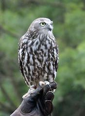 Barking Owl (mgjefferies) Tags: australia owl queensland captive currumbin barkingowl ninoxconnivens mgjefferies