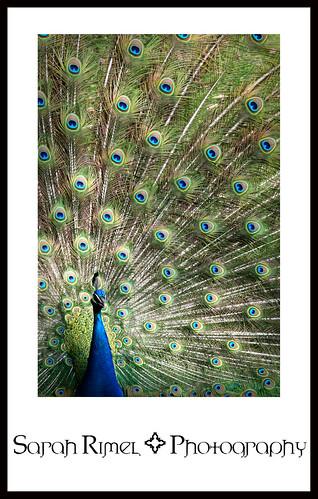 web peacock