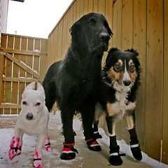 all dressed up, and no where to go (sarah ...) Tags: jane notimpressed bordercollie 34 jackrussellterrier kaleb flatcoatedretriever gyp dogbooties 4inexplore pet2000 goldstaraward frrrrreeeezing wowfrontpageofexplorethatiscool janethinkseitherwaythisweatherfingsucks