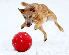 Parker Snow Red Ball 3 (zingpix) Tags: red usa dog snow dogs jeff ball washington all shot cattle ss  australian super explore rights queensland jeffrey australiancattledog reserved heeler acd redheeler blueheeler supershot allrightsreserved zingpix jeffjaquish jaquish jeffreyjaquish