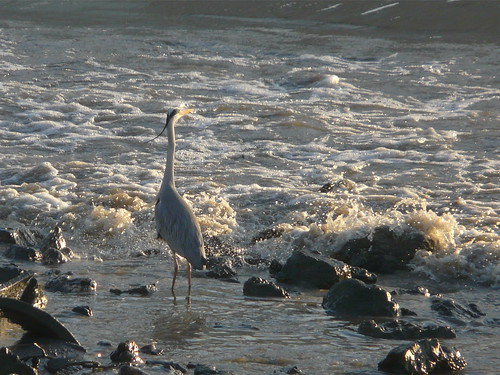 Heron in the surf by the Thames