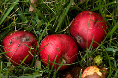 Fallen and rotting red hierloom apples (BACHarbin) Tags: red stilllife usa 3 green rotting closeup fruit mi three personal decay photoblog fallen apples grasses flushing hierloom redapples rottenapples hierloomapples hierloomconcepts submittedtophotoshelter