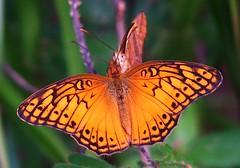Borboletas (Pedro Cavalcante) Tags: butterfly papillon borboleta finepix s5000 fujifilm mariposa farfalla sommerfugl schmetterling vlinder    finepixs5000 natureselegantshots pedrocavalcante