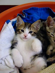 Nana's babies [Day 49] (Chrischang) Tags: pet cat printed 貓 banban 斑斑 20080224 nanababyday49