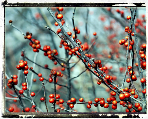 :: winter berries ::