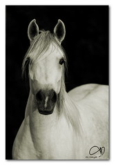 Arabian Horse (AL-Tubaiykh) Tags: wild horses horse art animal animals canon wow dark caballo cheval photo amazing flickr shadows shot artistic photos good top fine sharp cannon kuwait arabian camra excellence photooftheday artphoto      ar1 flickrsbest   anawesomeshot aplusphoto kuwaitphoto allphoto ysplix excellentphotographerawards kuwaitartphoto kuwaitart stabl