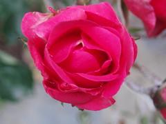 Rosa (jjbc) Tags: flowers espaa flores flower garden spain flor jardin rosa petunia narciso terraza jacinto manzanilla maceta geranio bulbo tulipan bulbos clavel fresia alheli gervera