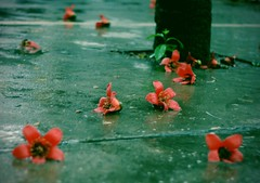Fallen beauties (yeeship) Tags: guangzhou travel plant flower green glass rain canon melody macau   400d