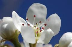 Flor de perer / Flor de peral / Pear tree flower (visol) Tags: flowers flores fleurs peral flors onblue blueribbonwinner perer anawesomeshot flowerwatcher themacrogroup