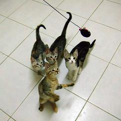 Kitties playing (Chrischang) Tags: pet animal cat video kaka printed 貓 zaizai pawpaw 卡卡 仔仔 youtube banban 泡泡 斑斑 20080407 5prettykittycommentsparti