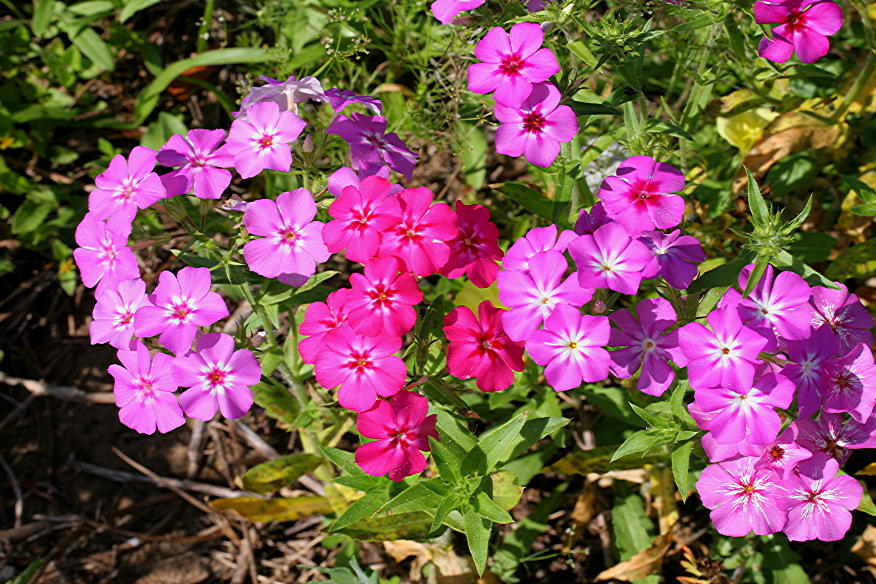 20 Pièces Graines Herbe Bonsai Lunaria Annua fleurs RARE Jardin livraison gratuite 2019 A