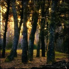 ecola forest sunset (jody9) Tags: trees sunset oregon forest cannonbeach ecolastatepark darkforest firstquality filteredsunlight andthemosslituplikelittlejewelsonthetrees
