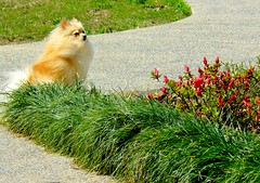 breezy (champagne.chic) Tags: dog grass windy driveway azalea pomeranian breezy monkeygrass supershot goldstaraward