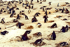 Crowded beach (maroma) Tags: naturaleza beach nature southafrica penguin playa pingino sudfrica platinumheartaward goldstaraward