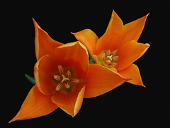 Lily flowered tulip variety called Jane Packer. (Shandchem) Tags: tulip gf cubism effe janepacker lilyflowered flowerscolors excellentsflowers mimamorflowers qualitypixels awesomeblossoms