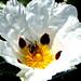Bee in Flower Abelha na Flor ミツバチが花 Ape in Fiore मधुमक्खी में पुष्प Μέλισσα στο λουλούδι en Fleur Biene in Blüte דבורה על פרח