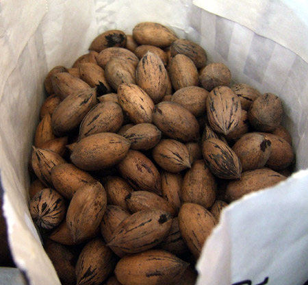 Pecan nuts we collected from the garden