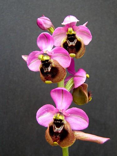 Ophrys ficalhoana ( = O.tendhredinifera subsp. ficalhoana ) 2506039949_4822d48750