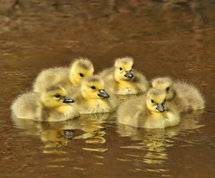 The Goslings Family! (JRIDLEY1) Tags: baby water yellow river golden spring fuzz zenfolio nikond3 jridley1 jimridley photocontesttnc09 dailynaturetnc09 httpjimridleyzenfoliocom photocontesttnc10 lifetnc10 photocontesttnc11 photocontesttnc12
