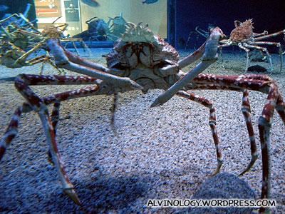 The delicious Hokkaido King Crab, live