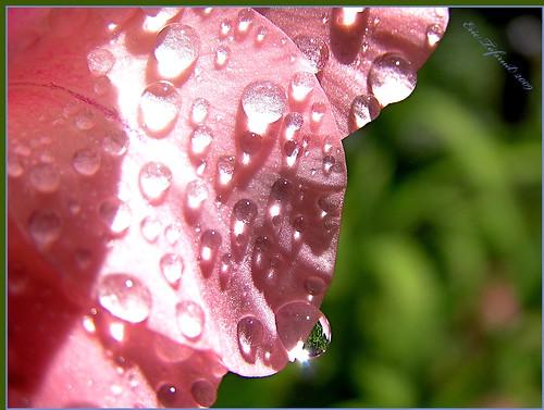 Gladiolus petal