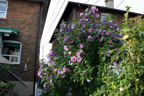 Rose of Sharon tree - blooming 4