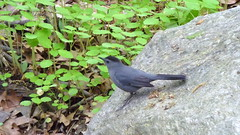 Gray Catbird On a Rock (LI Refugee) Tags: newyorkcity usa newyork bird animal zoo bronx wildlife bronxzoo thebronx catbird graycatbird dumetellacarolinensis taxonomy:binomial=dumetellacarolinensis