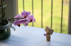 Danbo tries to return the petal (iiisecondcreep) Tags: orchid flower canon toy found lost missing phalaenopsis story help phal danbo canon60mmf28 400d danboard