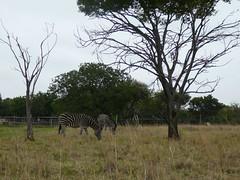 Johannesburg Lion Park (baggas) Tags: southafrica lions lionpark
