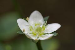 梅鉢草の花