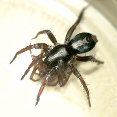 Done For (zxgirl) Tags: arachnid parsonspider herpyllusecclesiasticus arachtober07