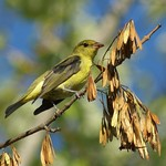 Scarlet Tanager by Jerry I Downs thumbnail
