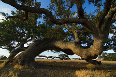 Tree near Wine County California (fredlab) Tags: california usa tree vent arbre questfortherest tordu graphism winecounty unature unaturefav