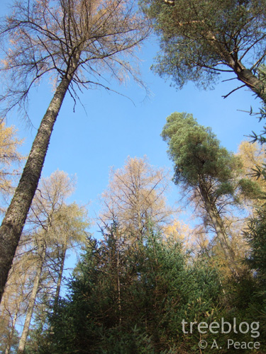 larch and pine (overstorey) and sitka spruce (understorey)